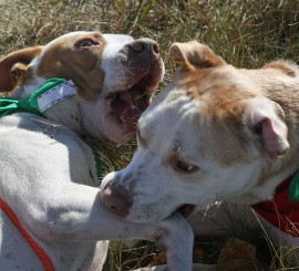 Tank and Bentley - Carteret County Humane Society